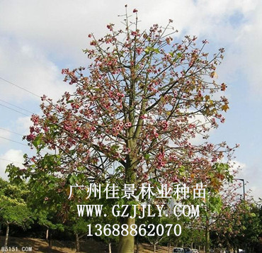 供应星花酒瓶树等绿化种苗