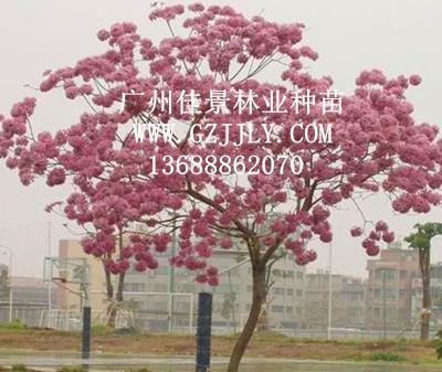 供应蓝(紫)花ope木等绿化种苗