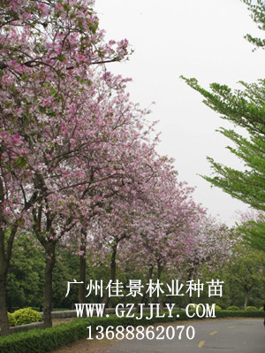 分布地区:我国南部,印度,中南半岛亦有 形态特征      宫粉紫荆