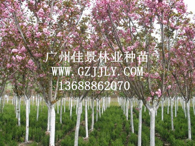 供应樱花等绿化种苗