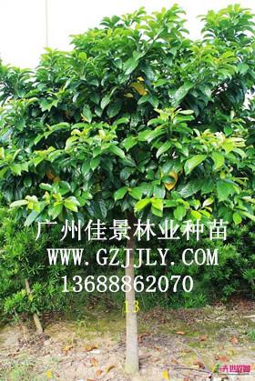 供应桂木 大叶胭脂等绿化种苗
