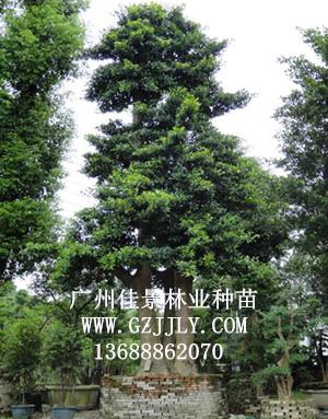 供应和顺木 竹节树等绿化种苗