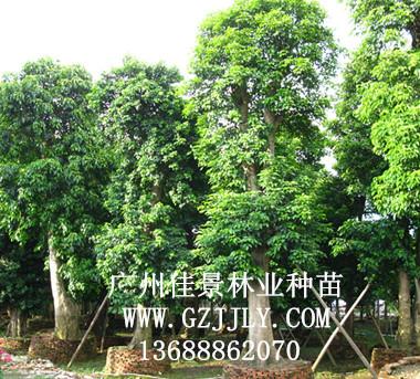 供应秋枫等绿化种苗