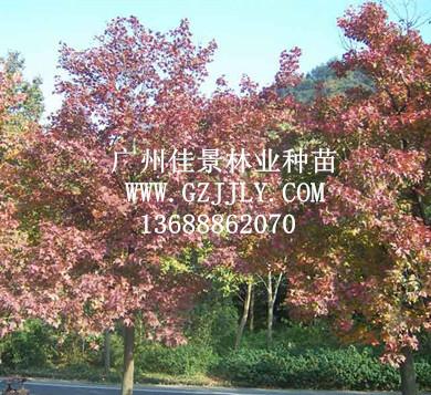 供应枫香 三角枫等生态造林种苗