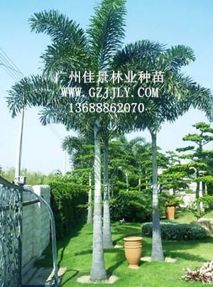 供应狐尾椰子等绿化种苗