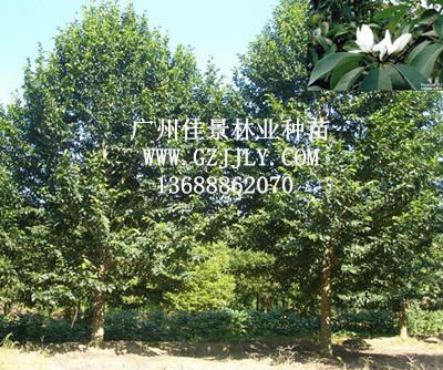 供应火力楠等生态造林种苗