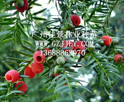 供应红豆杉等绿化种苗
