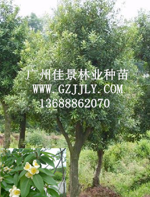 供应木荷 荷树等生态造林种苗