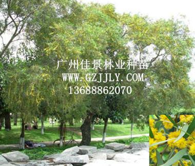 供应台湾相思 大叶相思等生态造林种苗