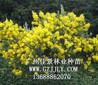 广州佳景林业种苗供应银叶金合欢等绿化种苗