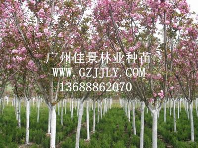 广州佳景林业种苗供应樱花等绿化种苗
