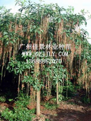 广州佳景林业种苗供应红花玉蕊等绿化种苗