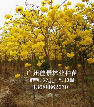 广州佳景林业种苗供应黄花ope木等绿化种苗