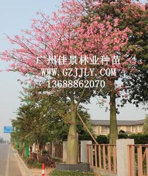 广州佳景林业种苗供应大腹木棉等绿化种苗