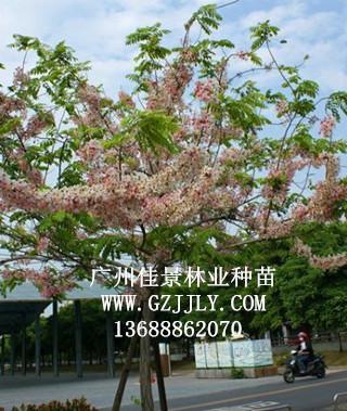 广州佳景林业种苗供应花旗木等绿化种苗
