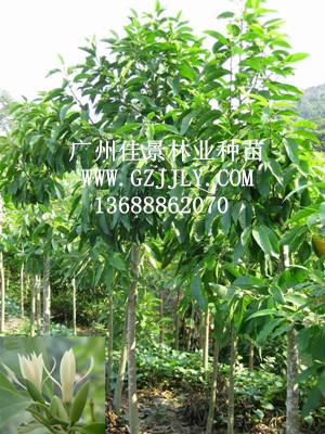 广州佳景林业种苗供应白兰等绿化种苗