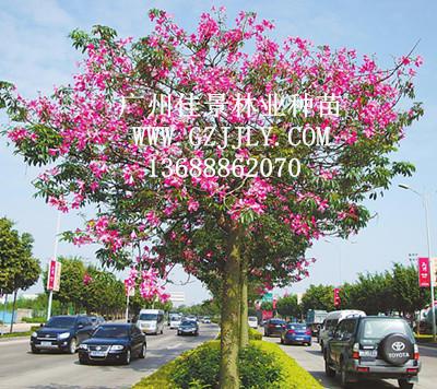 广州佳景林业种苗供应美丽木棉等绿化种苗