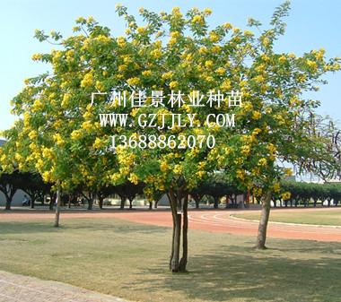 广州佳景林业种苗供应黄槐等绿化种苗