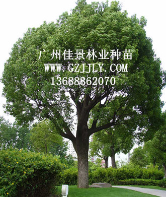 广州佳景林业种苗供应樟树 香樟等绿化种苗