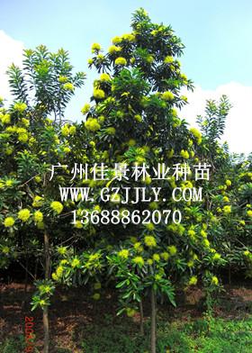 广州佳景林业种苗供应黄金熊猫等绿化种苗